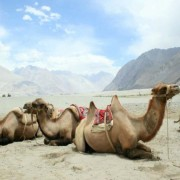 White-Sand-dune-Bactrian-Camels